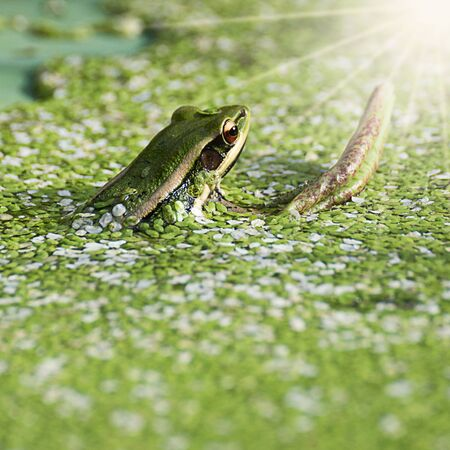 Green Frog calling in a pond surrounded by duckweed