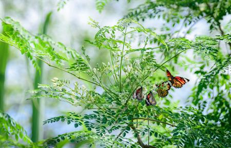 나비와 함께 Moringa oleifera Lam