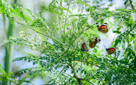 Moringa oleifera Lam with butterfly