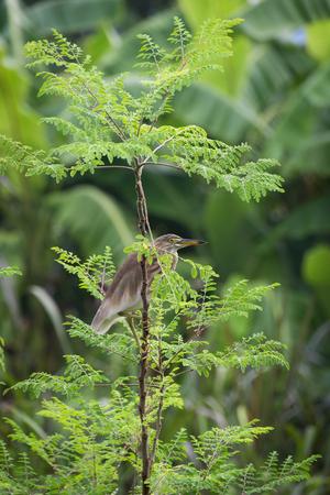 egret on moringa oleifera tree