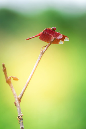 Red Dragonfly on a branch with a green background (Neurothemis ramburii)