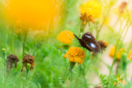 Beautiful butterfly on yellow flower,black butterfly,marigold flower