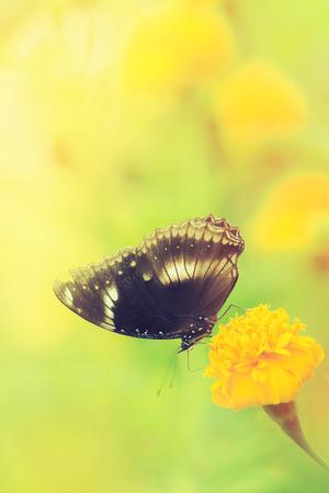 Beautiful butterfly on yellow flower,black butterfly,marigold flower