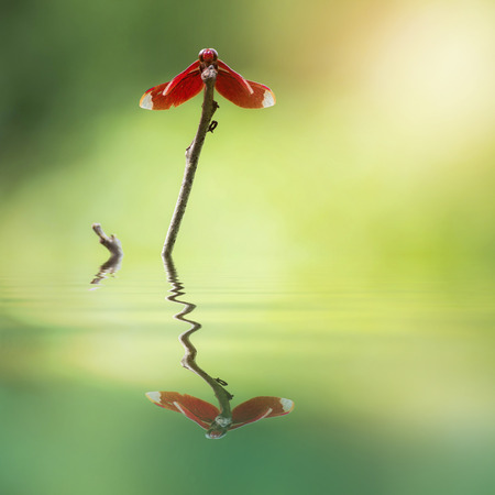 Red Dragonfly on a branch water reflection (Neurothemis ramburii)
