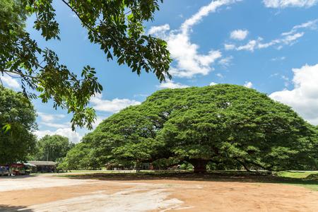 Giant Rain Tree,The big tree in kanchanaburi,thailand  ,attractions