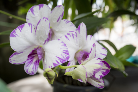 Dendrobium orchid purple orchid flowerstropical flower bloompink dendrobium orchid purple orchid flowerstropical flower bloompink orchid flower in thailand mightylinksfo