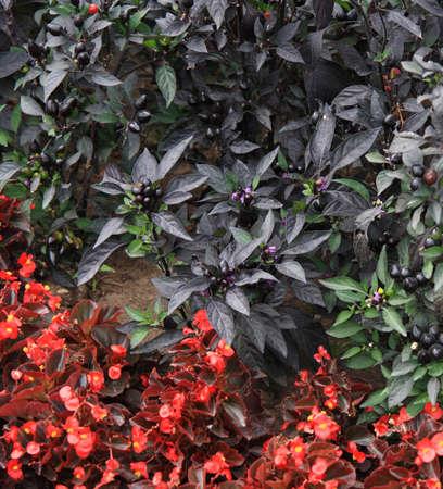 Black berry in the flowered bed Standard-Bild