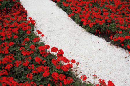 White footpath in red flowers Standard-Bild