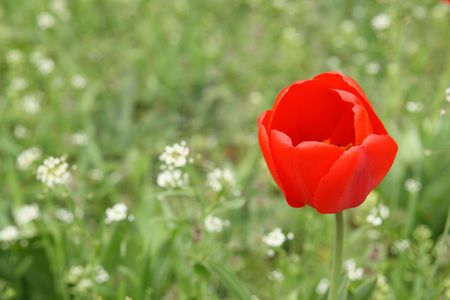 Red tulip in green field. Nice background for greeting card.