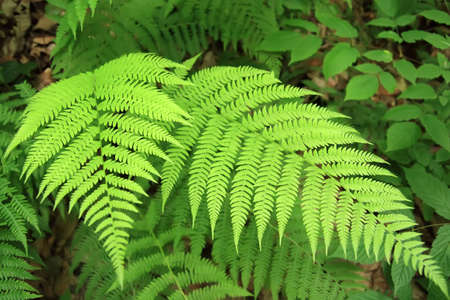 The green fern in a forest.