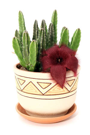 Stapelia plant in ceramic flowerpot isolated on white background