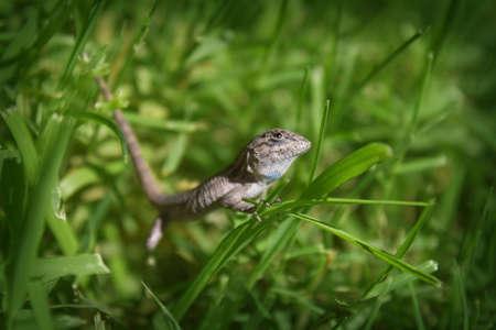 Lizard encounters grassy field Reklamní fotografie