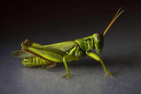 Green Grasshopper Banco de Imagens