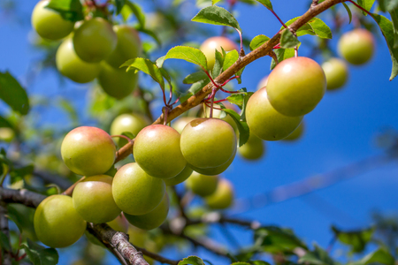 sustainably: plums hanging from a small branch, among leaves and on unfocused natural background. Stock Photo