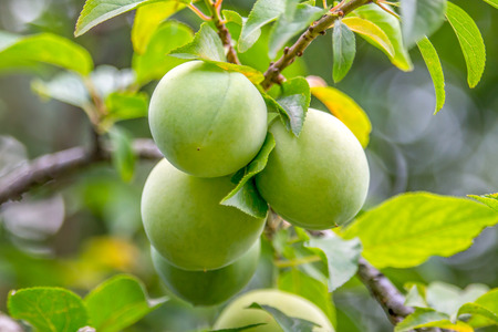 sustainably: splendid green plums hanging from a small branch, among leaves and on unfocused natural background.
