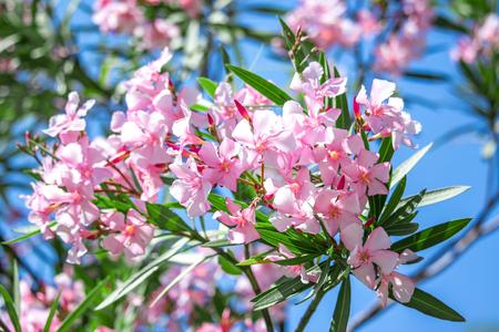 nerium: Nerium oleander. spring, sunny day.