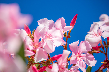 oleander: Nerium oleander. spring, sunny day.