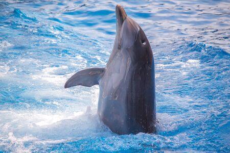 grampus: bottlenose dolphin in blue pool water.