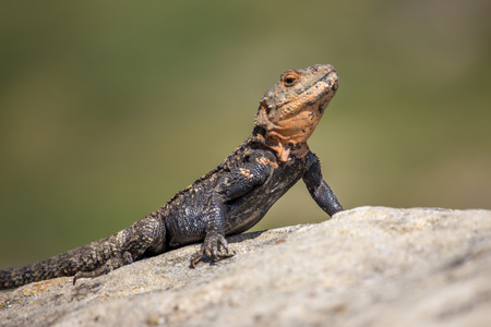 desert lizard: portrait of brown lizard on the rock, Georgia Stock Photo