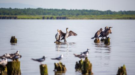 Cormorants and seagulls on lake Paleostomi, Poti, Georgia.