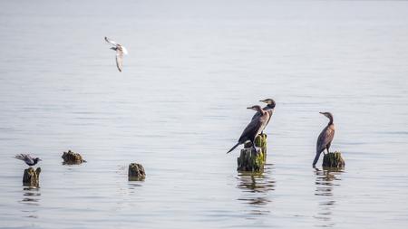 cormorants: Cormorants and seagulls on lake Paleostomi, Poti, Georgia.