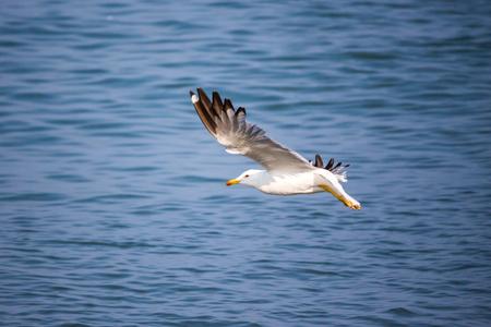 seagull flying above blue sea, Poti, Georgia.
