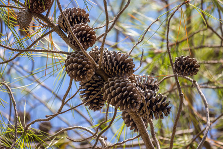 Close-up view of cedar pine cones on the tree, the most common type of coniferous tree in the world Stok Fotoğraf