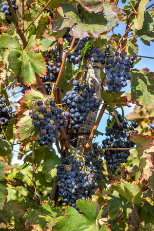 terroir: Wine grapes on the vine late in autumn, for a late harvest.