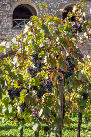 terroir: Wine grapes late in autumn, for a late harvest.