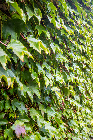 cluster house: Parthenocissus tricuspidata on the wall, flora of  Georgia.