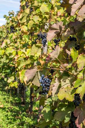 raisins fin à l'automne, pour une récolte tardive vin.