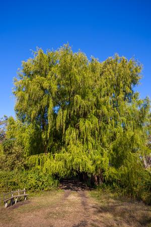 Big swamp cypress tree in the Maltakva park, Poti, Georgia. Stock Photo
