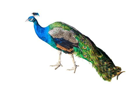 Beautiful Peacock Isolated On White Background.