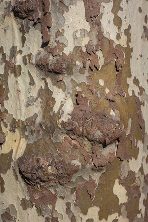blotched: Background of plane tree bark , plane tree bark texture. Stock Photo