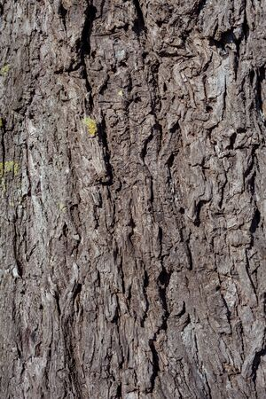Wrinkled old willow tree bark, willow bark texture.
