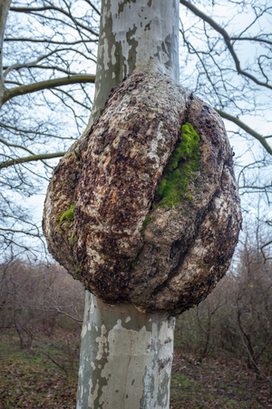 Plane-tree with a burl, nature.