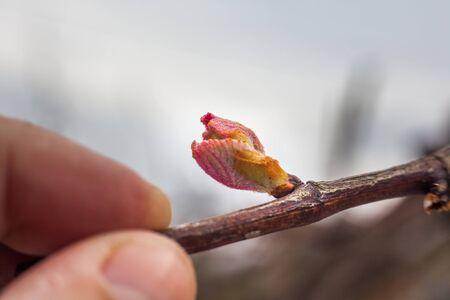 Nuova crescita che germoglia fuori dalla vigna della vigna della Georgia, Georgia. Archivio Fotografico