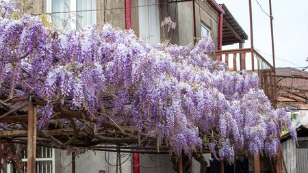closeup of a beautiful cascade of wisteria flowers.