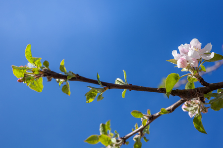 Pink and white apple blossom buds with background of branches.