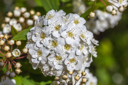 shrubs: Closeup of flowering shrub bridal wreath spirea, floral background.