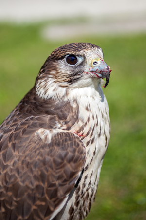 feasting: Falcon with a bloody beak after a meal. Stock Photo
