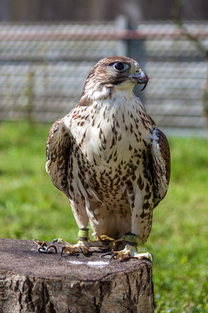 Falcon with a bloody beak after a meal. Stock Photo