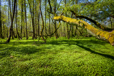 Beautiful green spring forest landscape, humid sunny day.