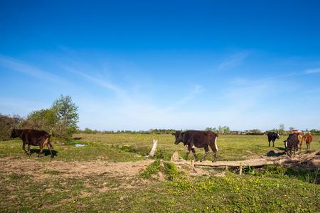Cows cross a wooden bridge on a small river.
