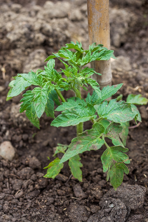 Young tomato plant in open ground in vegetable garden.
