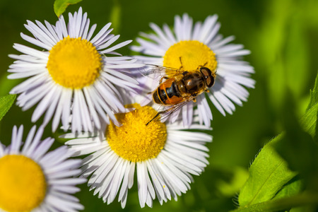 Bee on the chamomile flower, spring, nature.