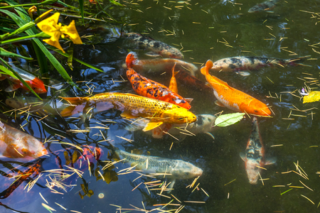 Japan fish call Carp or Koi fish colorful, Many fishes many color swimming in the pond, Batumi, Georgia. Stock Photo