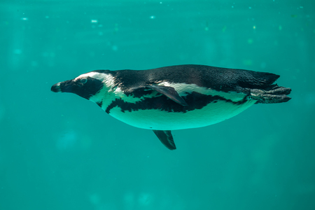afrika: African penguin swims in the water in the Tbilisi zoo, the world of animals.