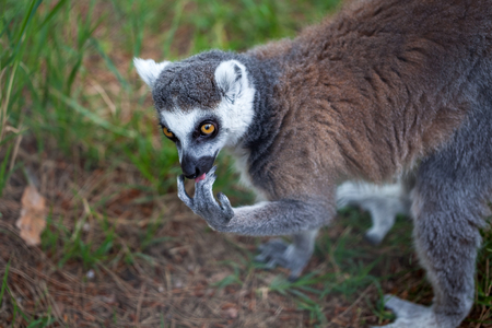 Ring-tailed lemur in the Tbilisi zoo, the world of animals. Stock Photo