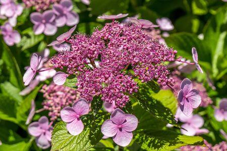 The Pink Sparkler Spirea flowers is a smaller shrub with a rounded shape, Spiraea x betulifolia Pink Sparkler Birch Leaf Spirea.